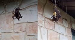 毒蜘蛛活吞2倍大蝙蝠 屋主看傻