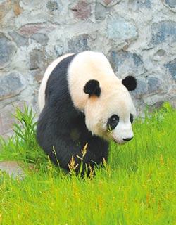 熊貓外交 陸獨門的和平利器