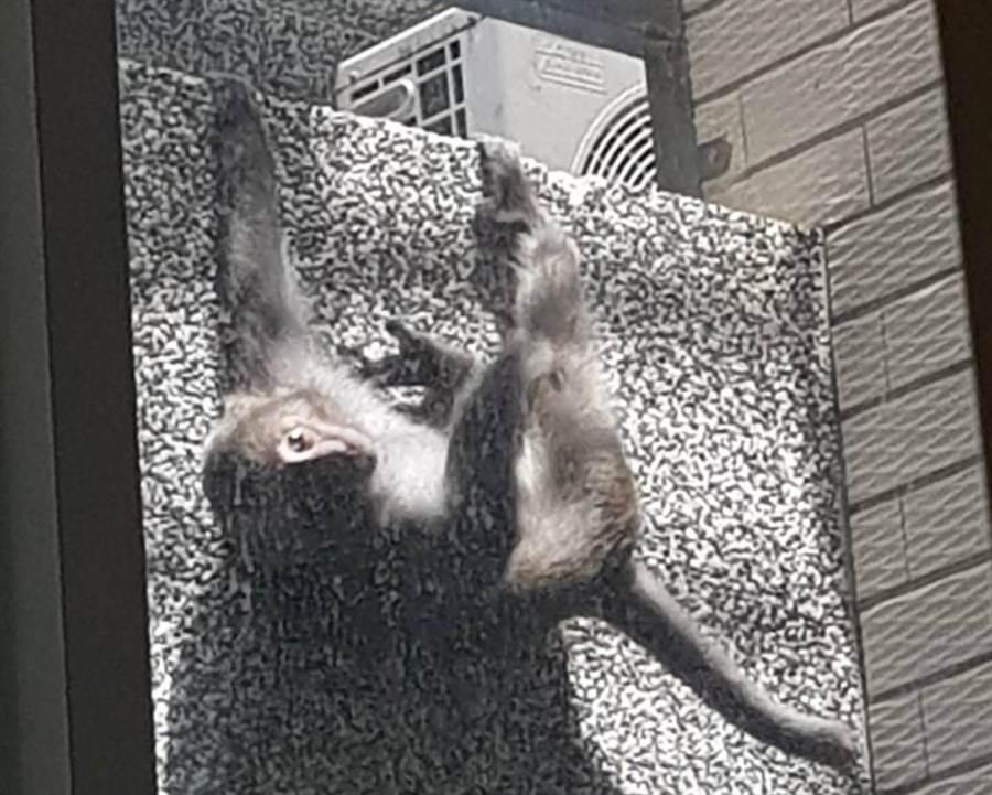 里內出現台東獼猴搗亂。(楊漢聲翻攝)