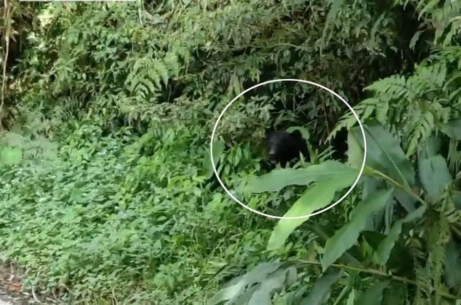 台灣黑熊又在台東現身。(楊漢聲翻攝)