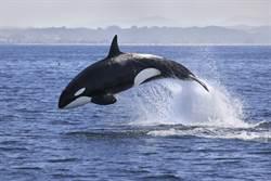 殺人鯨狂追漁船!下秒舉動眾人驚