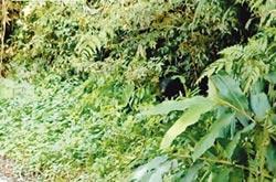 又見台灣黑熊 悠哉吃姑婆芋