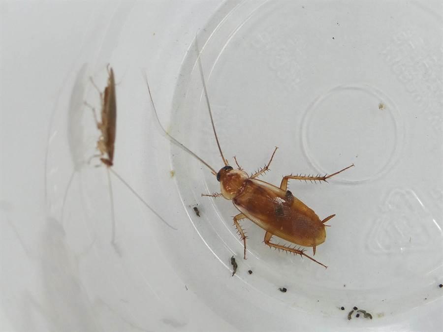 蟑螂經常出沒在家中,讓人感到嫌惡,台北市立動物園舉辦「我家蟲住民」特展,提供民眾認識家中蟲蟲的新知。(台北市立動物園提供)
