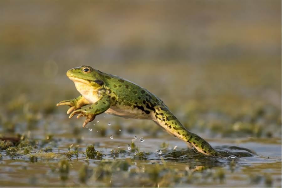 生吞9隻青蛙 他20年後GG(圖片取自/達志影像)