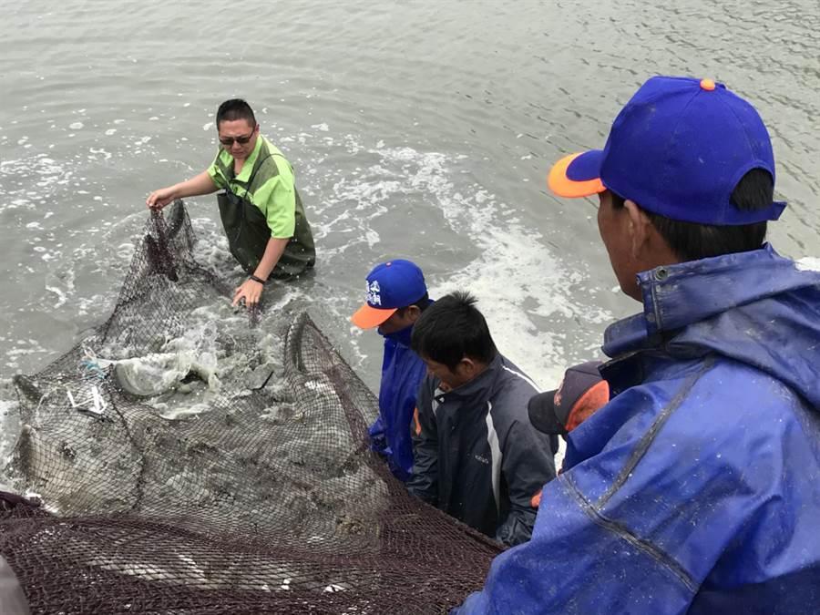 每年8到10月為虱目魚盛產期,嘉義縣沿海地區養殖業者紛紛開始搶收虱目魚。(張毓翎翻攝)