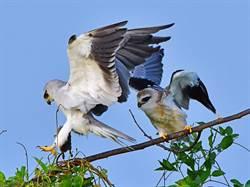 黑翅鳶餵食幼鳥畫面曝光!空中交接老鼠神技全都露