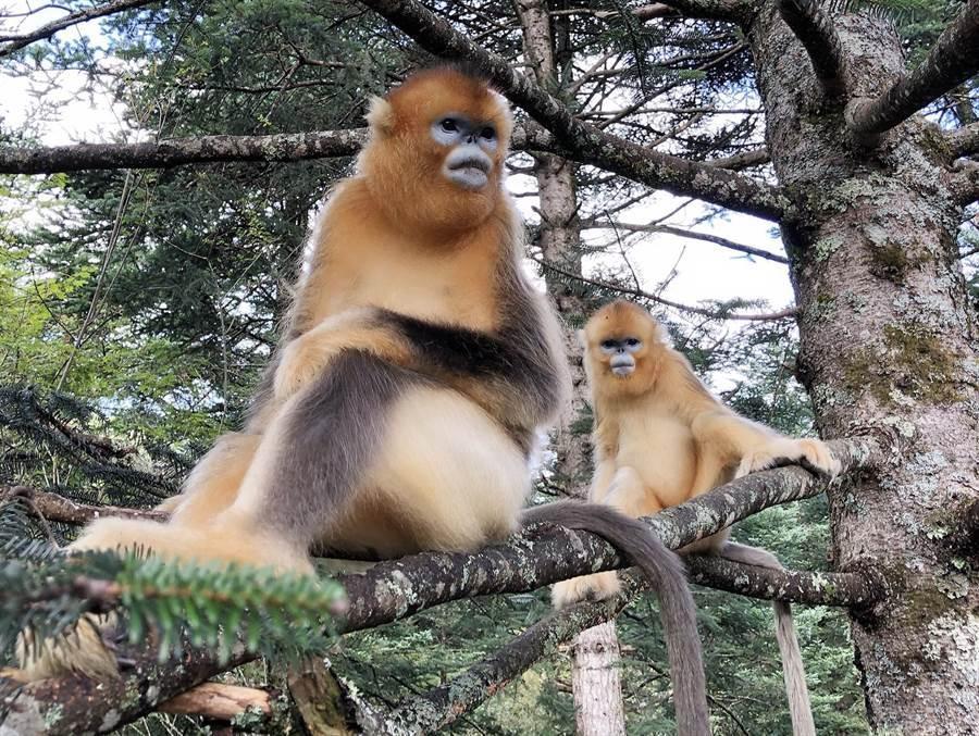 湖北神農架國家公園大龍潭金絲猴研究基地,居住了90隻金絲猴,分屬5個家族。(王雅芬/攝)