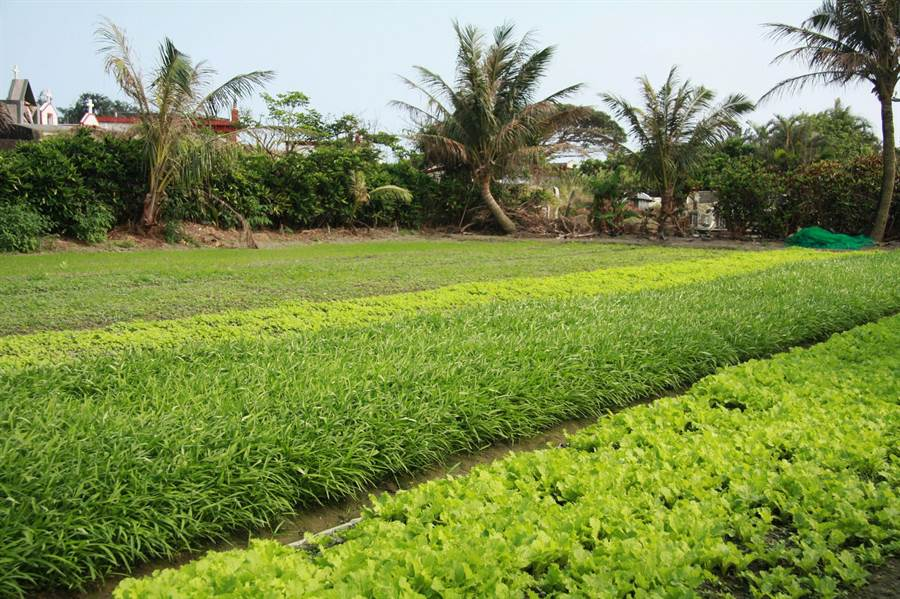農糧署表示,中南部雨勢未歇,蔬菜災損尚待天氣轉晴後才會浮現。(資料照,農委會提供)