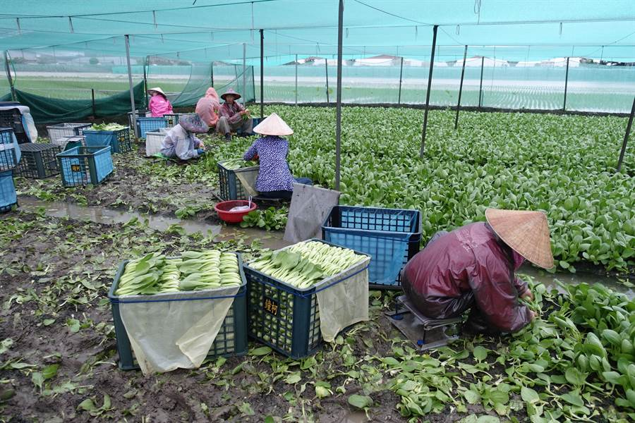 西螺菜農趁雨停趕緊搶收。(周麗蘭攝)