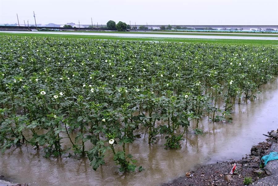 黃秋葵整園泡水。(周麗蘭攝)
