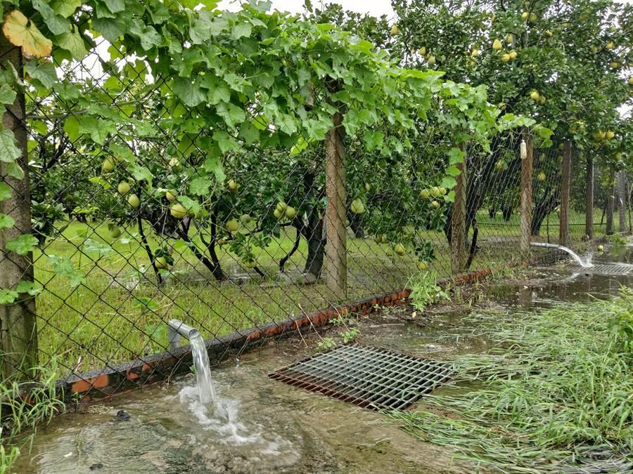 0813豪雨炸台南,造成南市溪南地區多處淹水,所幸溪北地區雨勢較小,農民經過去年0823雨災洗禮,也多有準備,注意田間排水,正逢產期的文旦並未受到影響。(莊曜聰攝)