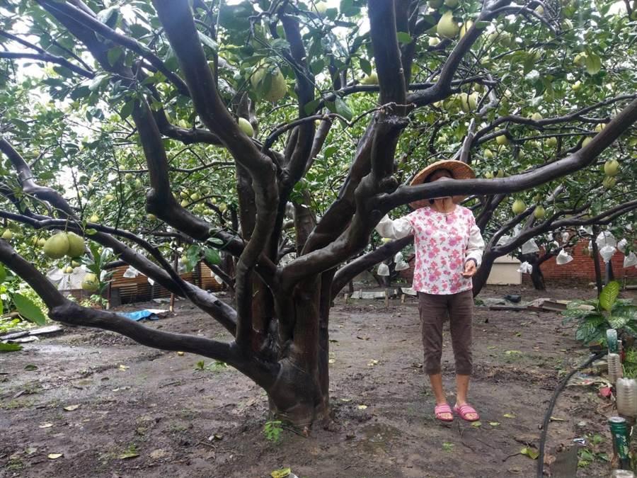麻豆文旦正值產期,農民把握雨勢稍歇空檔出門巡視。(莊曜聰攝)