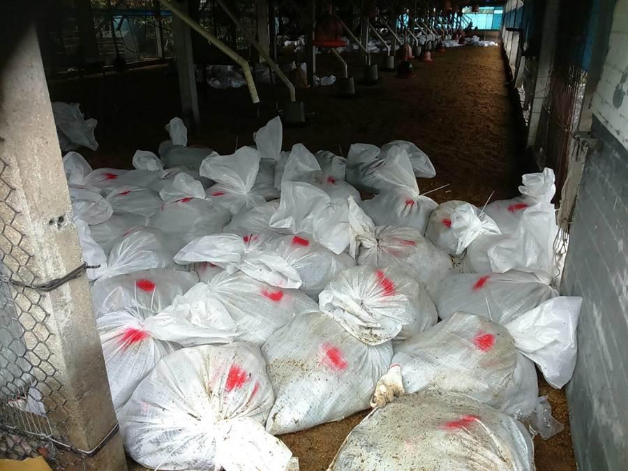 彰化縣大城鄉一處土雞場確診感染H5N2亞型高病原性禽流感病毒,1.8萬隻土雞遭撲殺。(謝瓊雲翻攝)