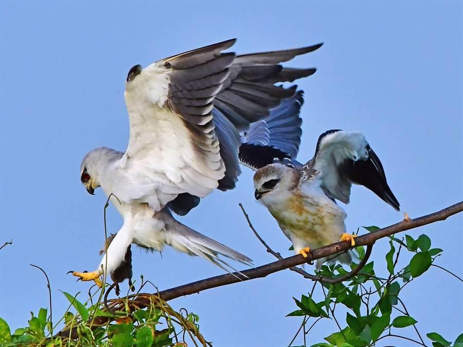 黑翅鳶親鳥捕獲到老鼠。(鄭緯武攝)