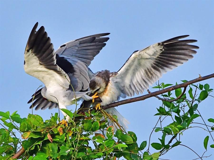 黑翅鳶親鳥捕獲到老鼠,飛到巢附近,並在空中交接。(鄭緯武攝)