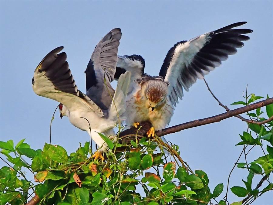 黑翅鳶親鳥空中或巢邊餵食幼鳥。(鄭緯武攝)