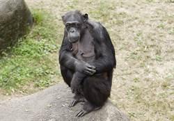 黑猩猩「阿美」50大壽!水果冰沙慶生又消暑
