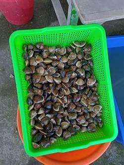 嘉義文蛤今年產量平均減少5成