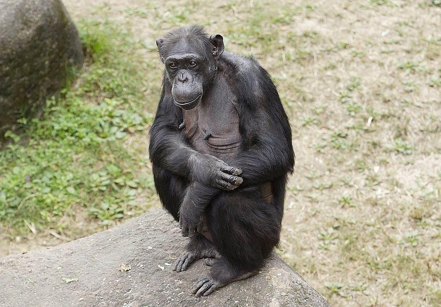 黑猩猩「阿美」今天歡度50大壽,保育員為她和家族成員準備了西瓜冰賀壽(詹德川攝)。(台北市立動物園提供)