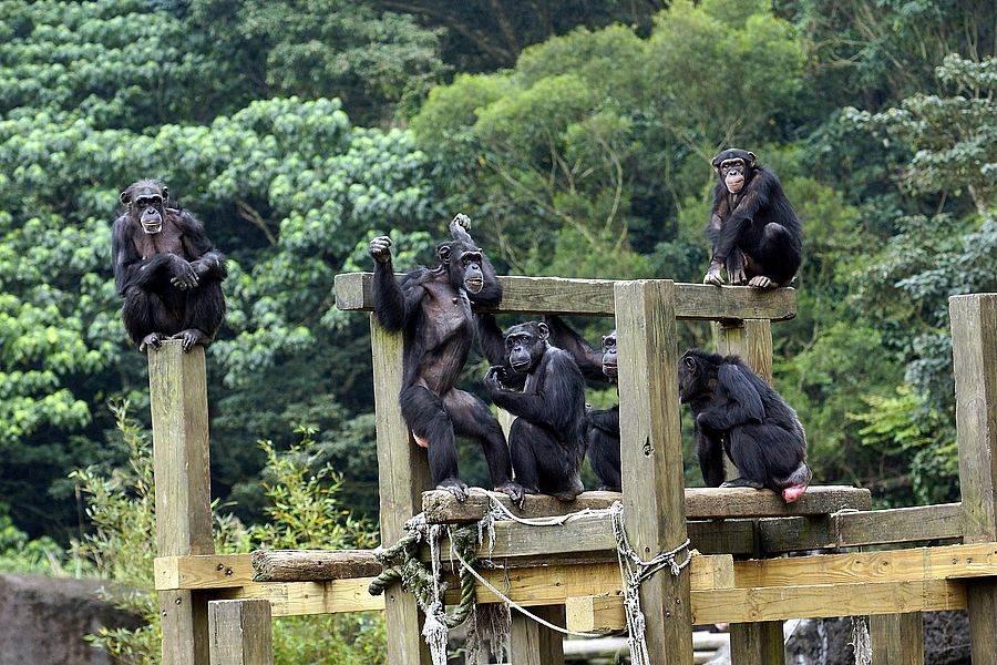 每年夏天,保育員也會為黑猩猩準備水果冰消暑(詹德川攝)。(台北市立動物園提供)