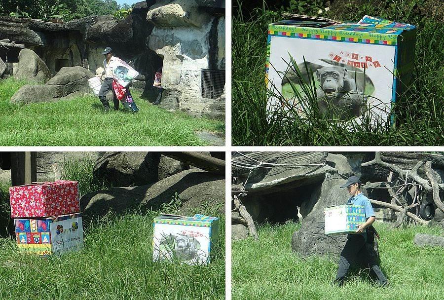 今天是黑猩猩阿美50歲生日,保育員一大早就忙著佈置活動場。(台北市立動物園提供)