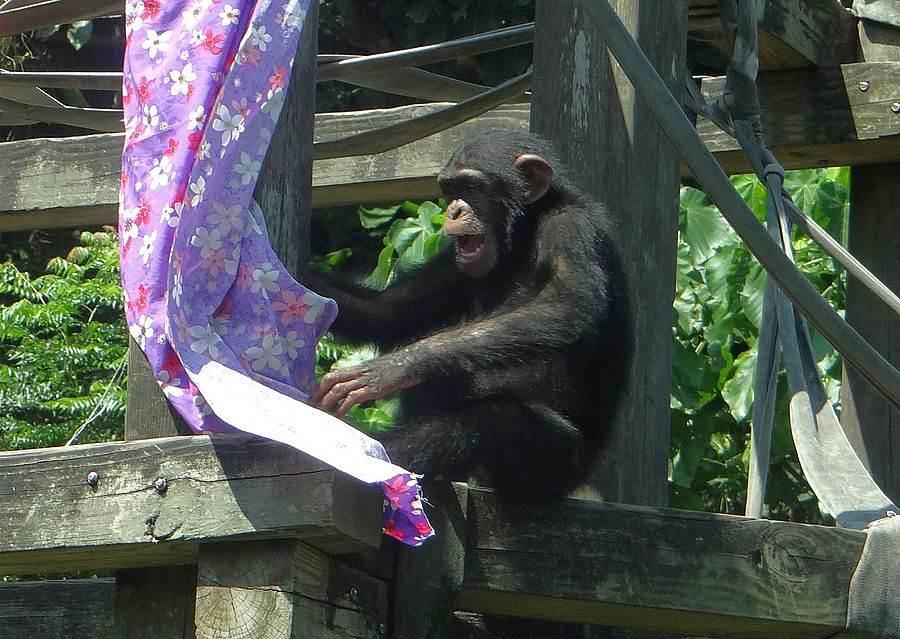看到那麼多色彩艷麗的花布,黑猩猩「娃智」顯得很開心!(台北市立動物園提供)