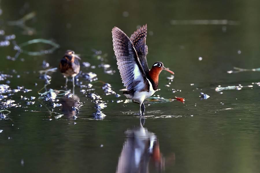 彩鷸母鳥採主動攻勢,張翅求偶。(莊哲權攝)