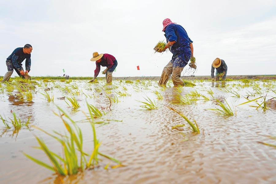 6月6日,農民在浙江瑞安灘塗圍墾上進行「海水稻」插秧。 (新華社)