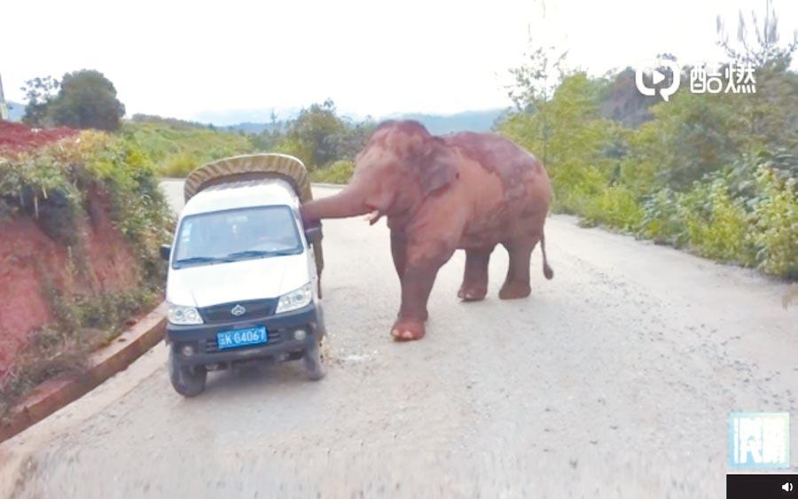 雲南亞洲象攻擊路旁車輛。(冬呱視頻影片截圖)
