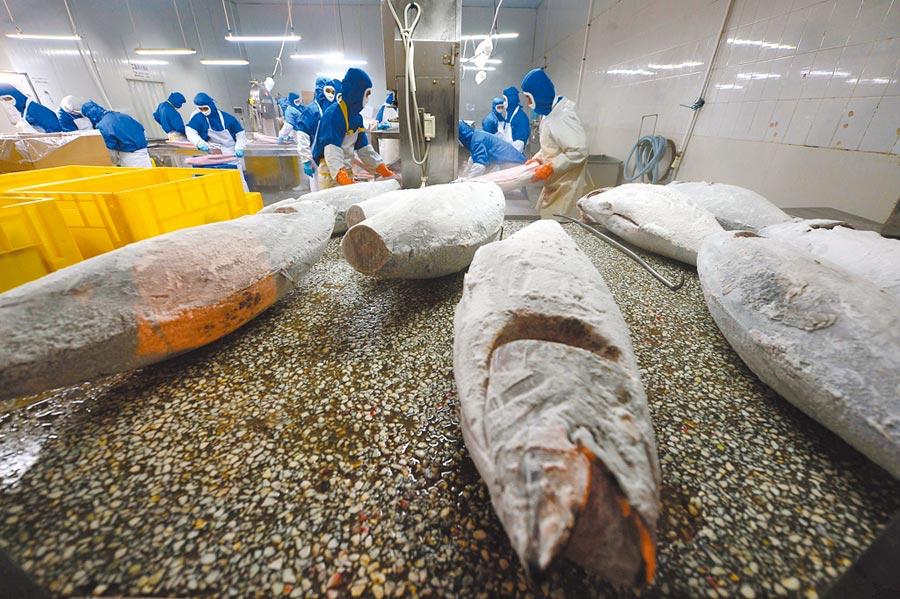 大陸工人在金槍魚交易中心加工金槍魚。(新華社資料照片)