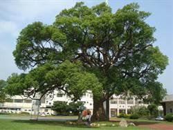 苗縣府公告首波59株受保護樹木名冊 維護老樹健康
