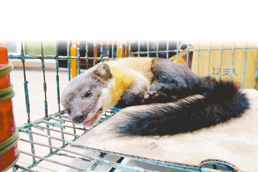 保育類野生動物黃喉貂誤觸獵人陷阱,右前肢疑遭鋼索套住受傷,被和平區民代表羅進玉搭救。(王文吉翻攝)