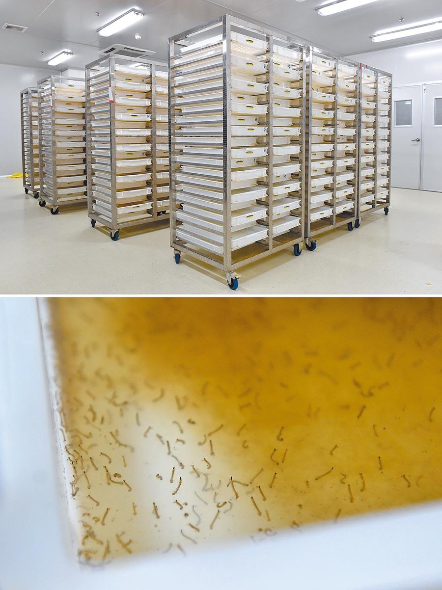 「蚊子工廠」飼養的孑孓。(新華社資料照片)