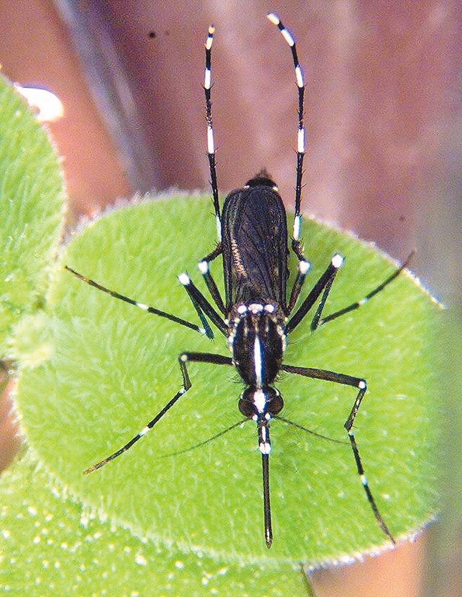 白線斑蚊。(衛生署疾病管制局提供)