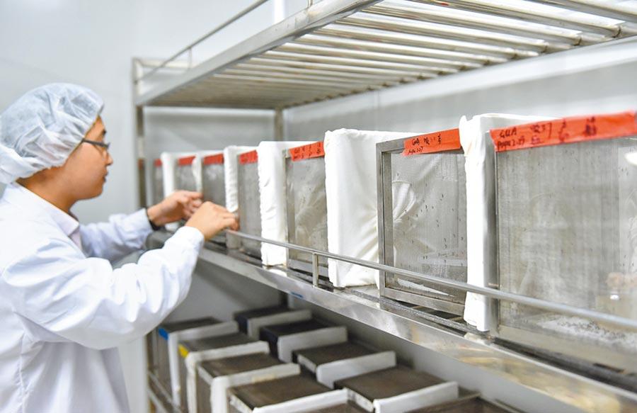 科研人員檢查白線斑蚊的生長狀態。(新華社資料照片)