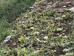 連續暴雨西瓜爛洋蔥倒 彰化農損盤點中