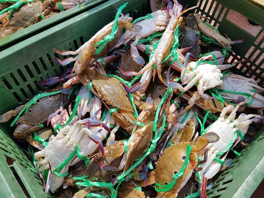 蟳蟹類重要繁殖期,抱卵母蟹禁捕期開始。(圖取自新北市漁業處官網)
