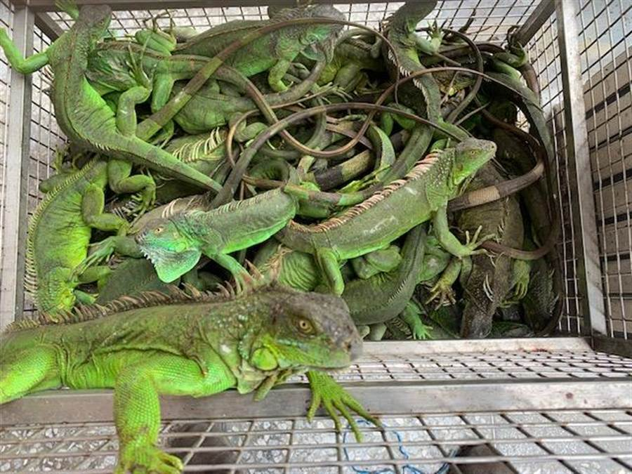 林務局公告,美洲綠鬣蜥為有害生態環境的非原生種陸域野生動物。(圖/農委會提供)