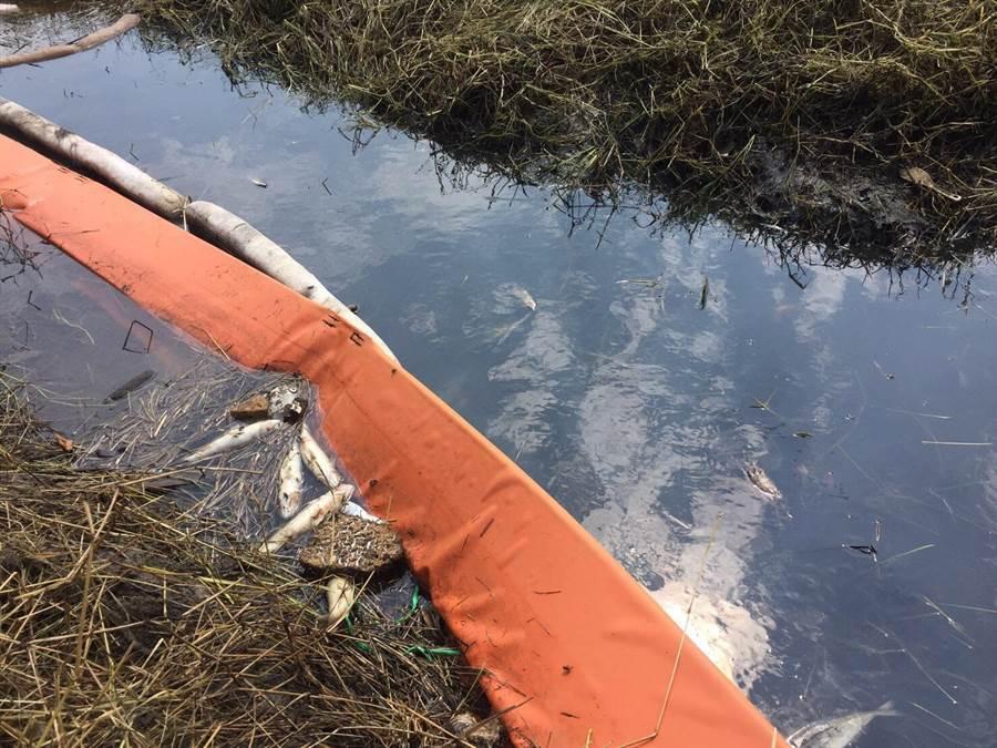 日前因為油管挖斷,造成南崁溪汙染,大量魚群暴斃,浮在水面上。(甘嘉雯翻攝)
