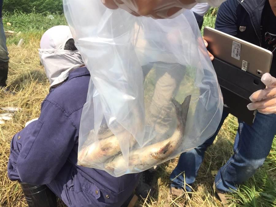 動保處人員到場取樣,將死魚帶回化驗。(甘嘉雯翻攝)