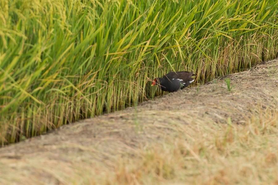 雲林縣斗南鎮農會推動友善耕作,不使用化肥、農藥,吸引紅冠水雞來田裡吃蟲、螺等。(許素惠攝)