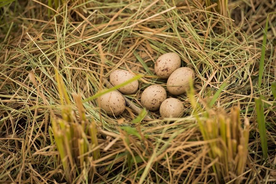 雲林縣斗南鎮農會推動友善耕作,不使用化肥、農藥,吸引紅冠水雞在田邊築巢下蛋繁衍。(許素惠攝)