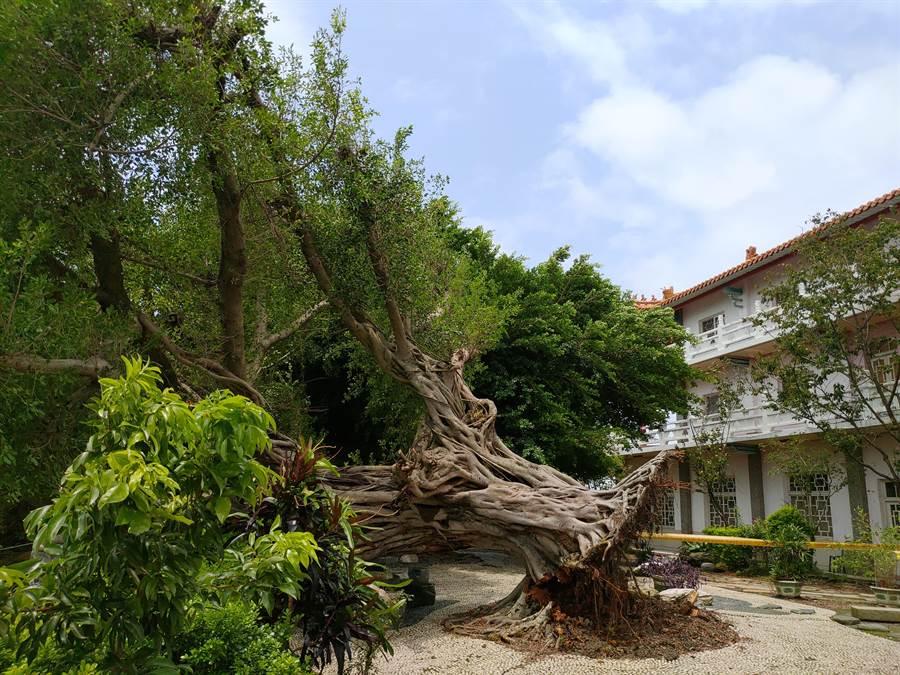 員林百果山廣天宮一棵百年榕樹,凌晨應聲倒下,疑似不敵豪雨強風被連根拔起。(謝瓊雲攝)