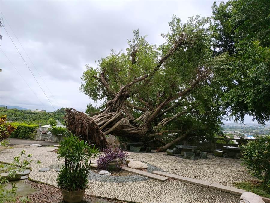 員林百果山廣天宮一棵百年榕樹,凌晨應聲倒下。(謝瓊雲攝)