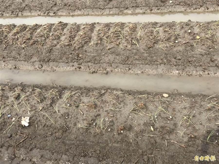 伸港洋蔥大面積倒伏,只盼不要再下雨,或許還有起死回生的機會。(吳敏菁翻攝)