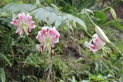 「峭壁的精靈」在平溪!豔紅鹿子百合盛夏開花