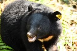 追蹤項圈脫落不妙?黃美秀卻讚野放小熊聰明!