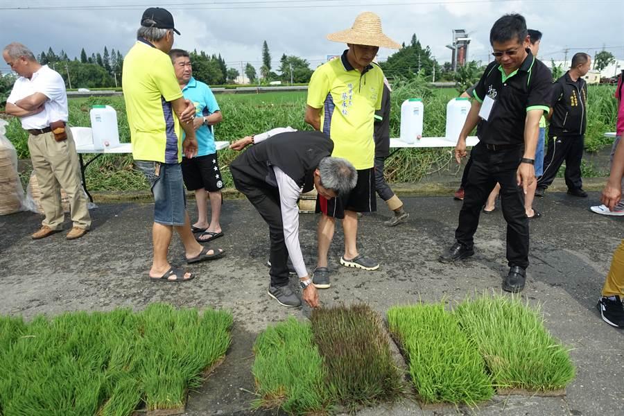 雲林縣斗南鎮農會稻田彩繪的秧苗雖只有綠和紫色,但40天後會轉變為綠白紫黃共4色。(許素惠攝)