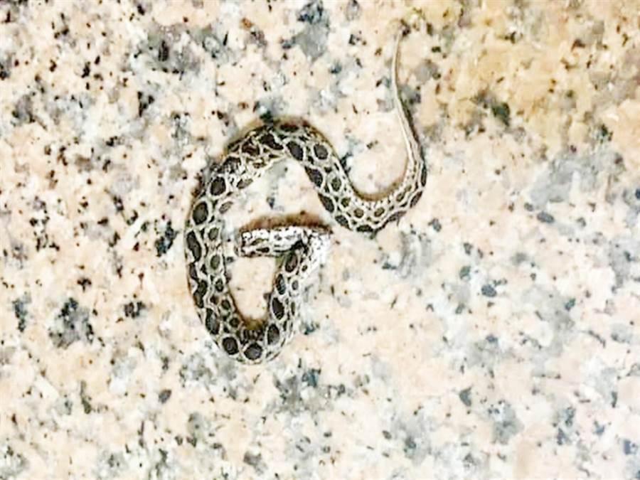 顏婦返家赫然發現鎖鏈蛇陳屍地板上。(民眾提供)