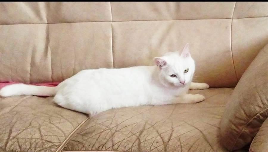 殺蛇的兇手推斷是愛貓「牛奶」。(民眾提供)